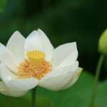 蓮 その高貴な謂われ。睡蓮との違いは?